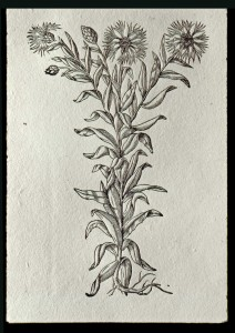 Cyanus maior (Cornflower) printed on hand-made paper